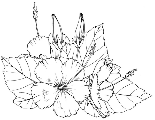 Coloring Pages Of Hibiscus Flowers : Beccy s place hibiscus