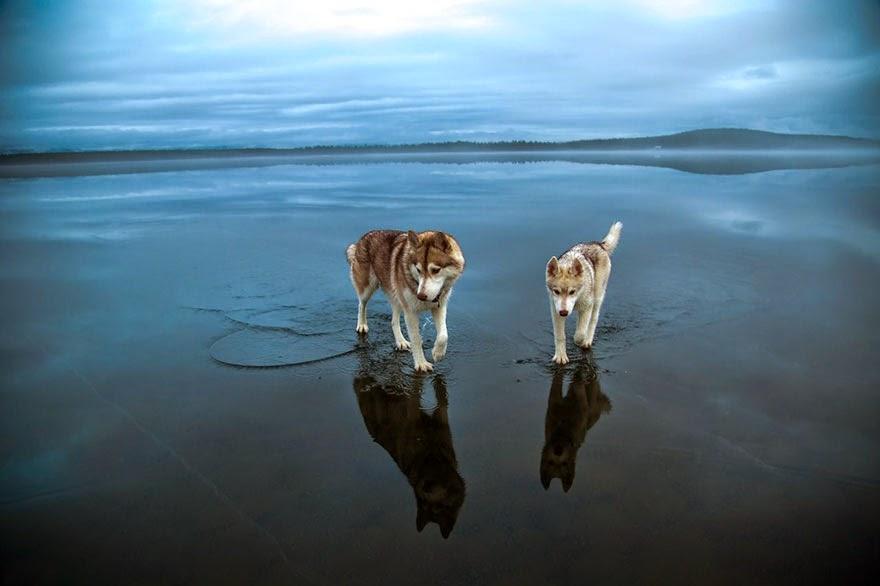 frozen lake Siberian Huskies-1