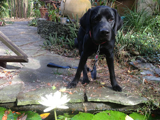 Coach is standing by the edge of the koi pond with his front feet a little splayed out.  A white water lily if in front of him in the water.