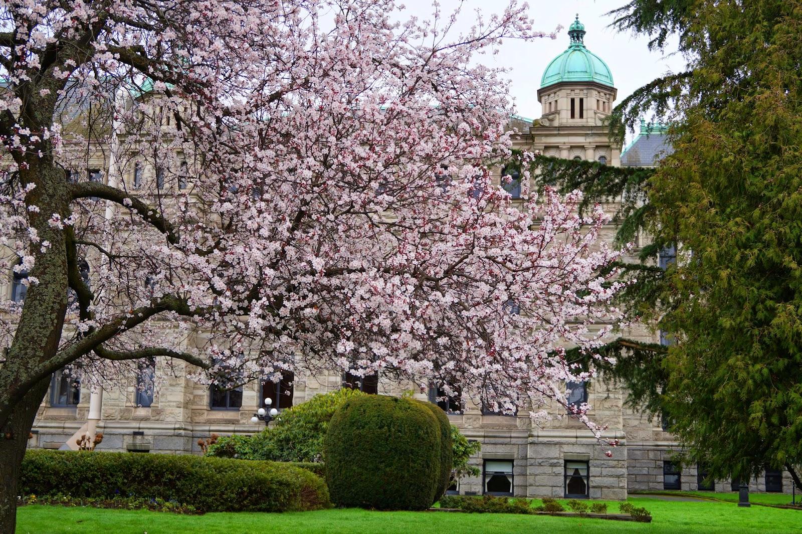 В Виктории сакуры зацветают в феврале