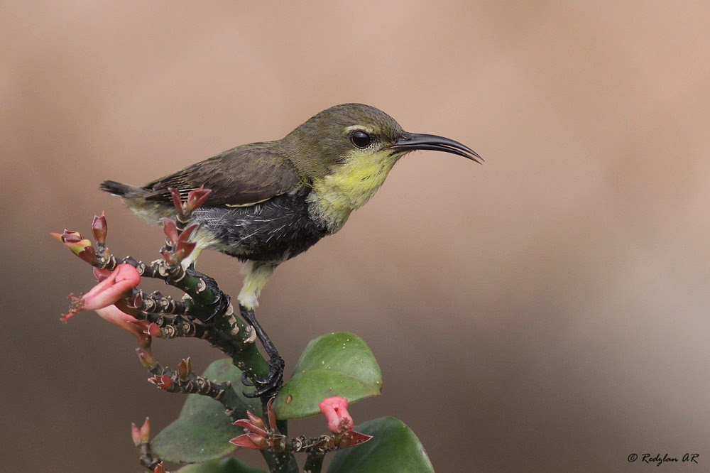 Anak Burung - Juvenile Brown-throated Sunbird (male)