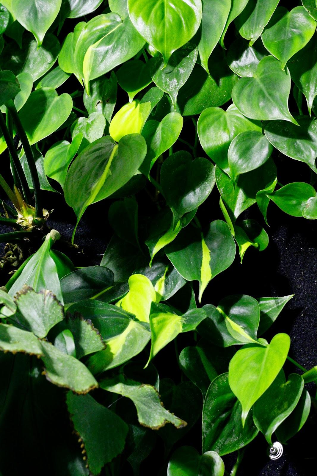plants, vertical garden, toronto,  interior landscape, interiorscape, office, professional, maintenance, in situ, biophilia,  indoor, plant, garden, terrarium, Philodendron, hederaceum