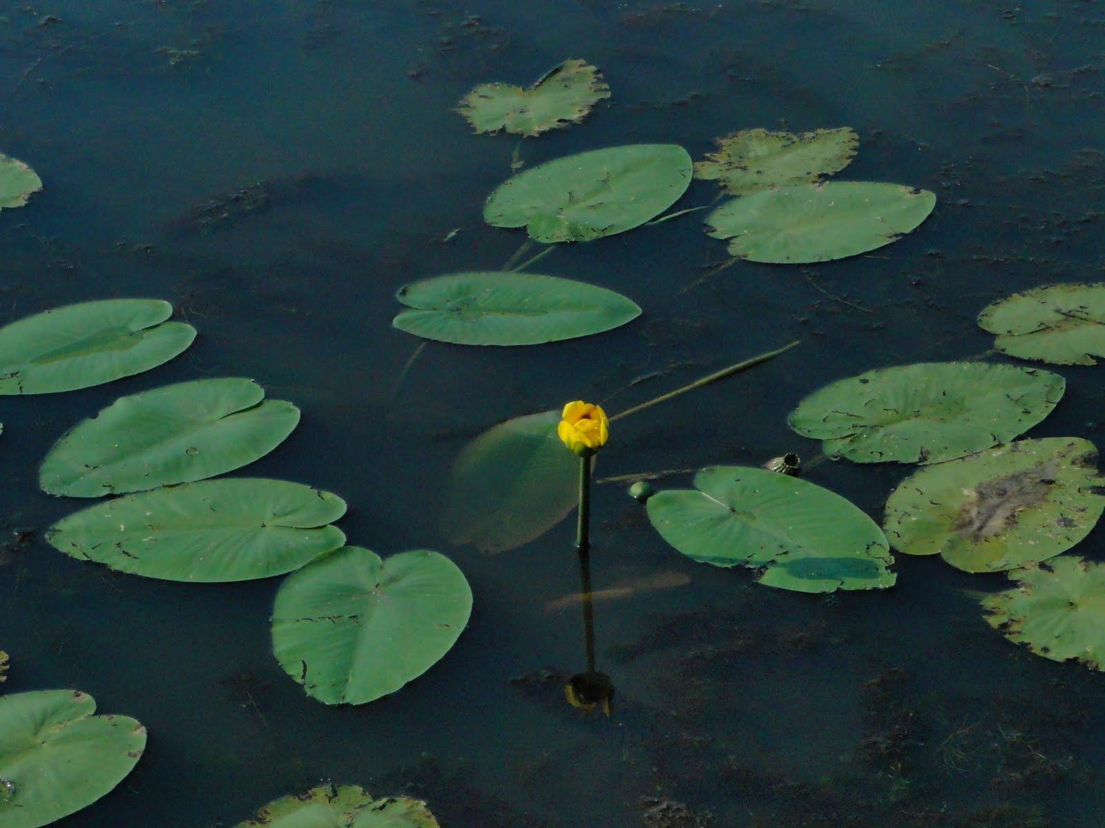 Rachs wildflower images spadderdock yellow pond lily yellow cow spadderdock yellow pond lily yellow cow lily bullhead lily izmirmasajfo