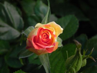 Una linda rosa matizada en el jardín - The Garden