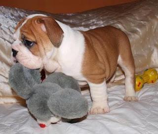 Bulldog Cachorros, parte 3