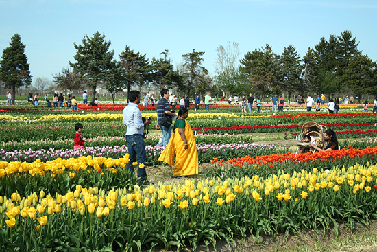 Tulip Farm 'Tulip Time' Holland Michigan
