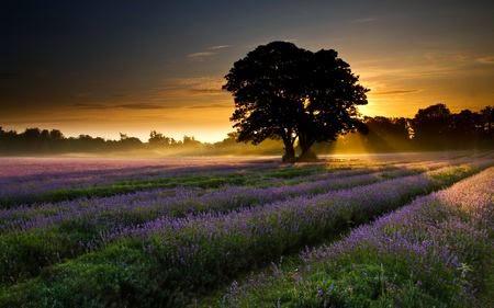 hoàng hôn trên cánh đồng hoa