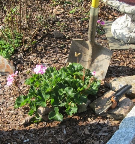 Blog of an ancient gardener experiment overwintering a geranium - Overwintering geraniums tips ...