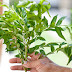 the things will blow your mind about curry leaves