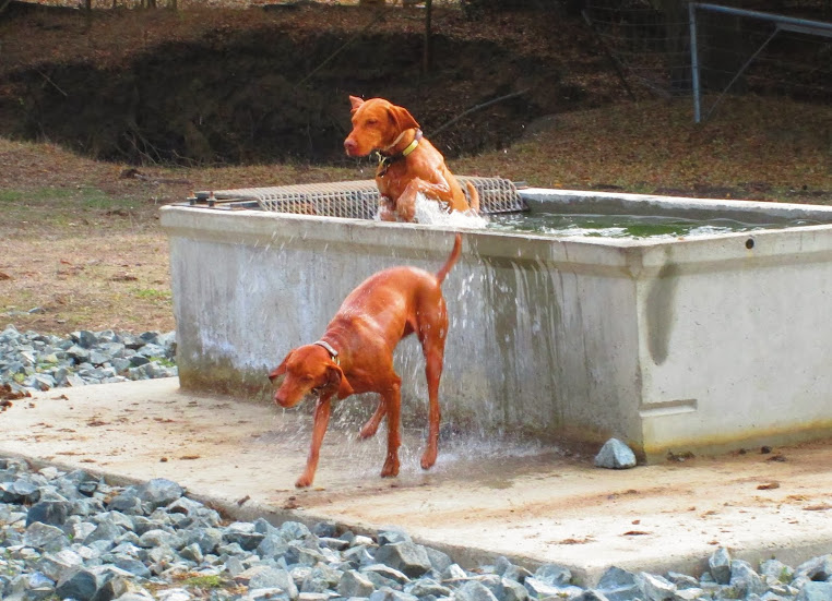 redbirddog - a hungarian pointer (vizsla) blog