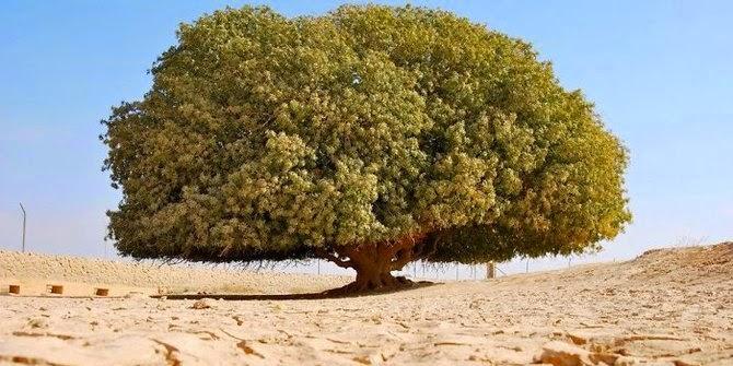Pohon Berusia 1400 Tahun Yang Jadi Saksi Keagungan Nabi