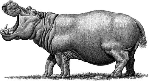 18-Hippopotamus-Michael-Halbert-Scratchboard-Images-of-Animals-and-Architecture-www-designstack-co