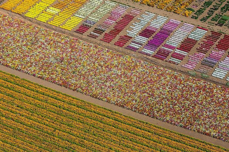 Flower Fields, Lompoc, California, USA.