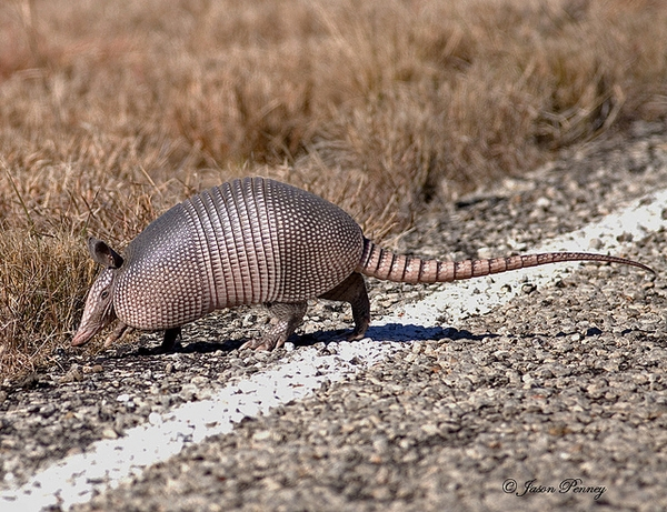 Armadillo crossing road