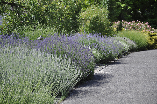 A lavender trial bed  at Wave Hill