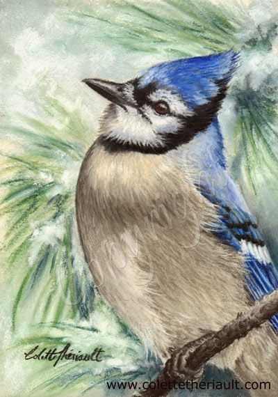Blue Jay Bird Painting in pastel by Canadian wildlife artist Colette Theriault