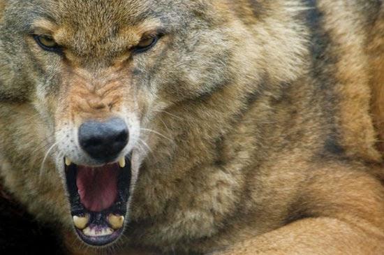 خلق ليفترس : الذئب