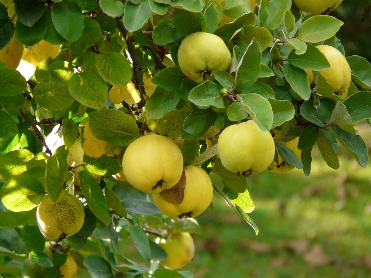Como hacer dulce de membrillo huertaycocinaextreme a for Kiwi albero