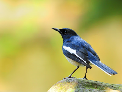 gambar foto Burung Kacer oriental Magpie Robin Copsychus saularis