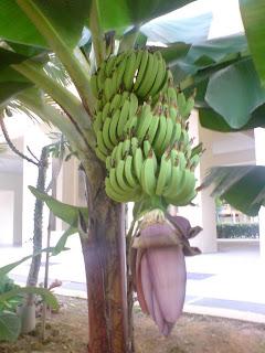 Cara menanam pisang yang baik dan benar