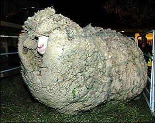Ovelha com excesso de lã
