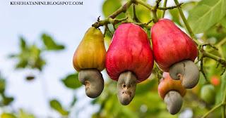 Manfaat Jambu Monyet dan Kacang Mede