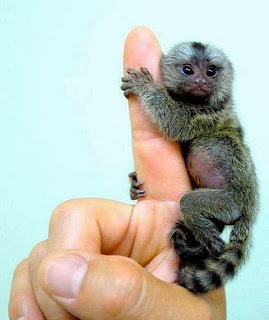 uistitì pigmeo finger monkey