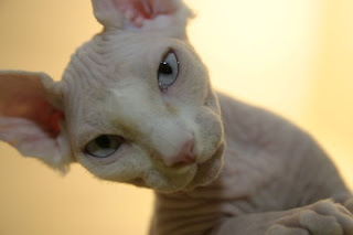 Sphynx Cat Having Kittens