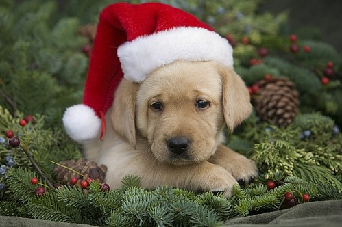 how to get a puppy for christmas