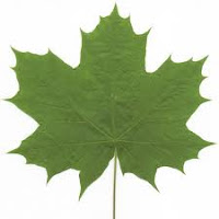 green maple leaf picture