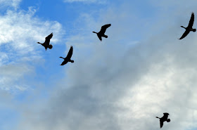Flight of the greylag