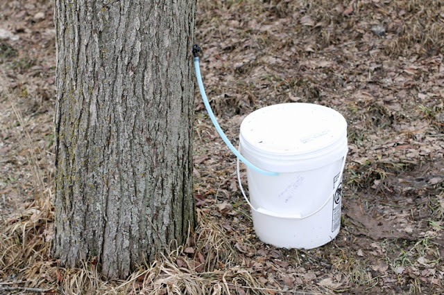 diy free maple syrup