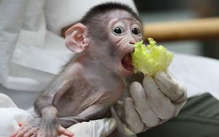baby Mangabey ape