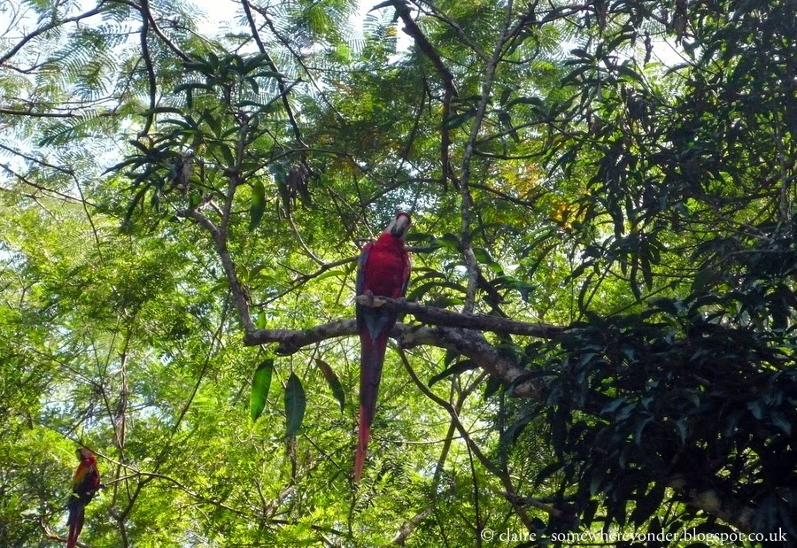 Wild Red Macaw - Copán Ruinas, Honduras