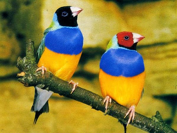 oiseaux exotiques et canaris. Black Bedroom Furniture Sets. Home Design Ideas