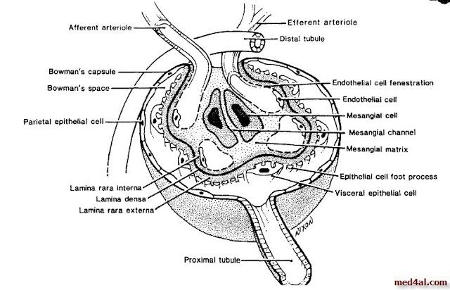 Bowman's-capsule-anatomy