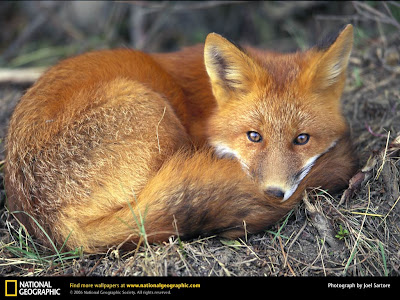Fox Wallpapers and Amazing Facts