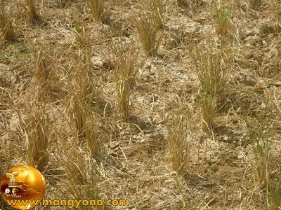 Tanaman padi mengering di Ds. Munjul, Pagaden Barat