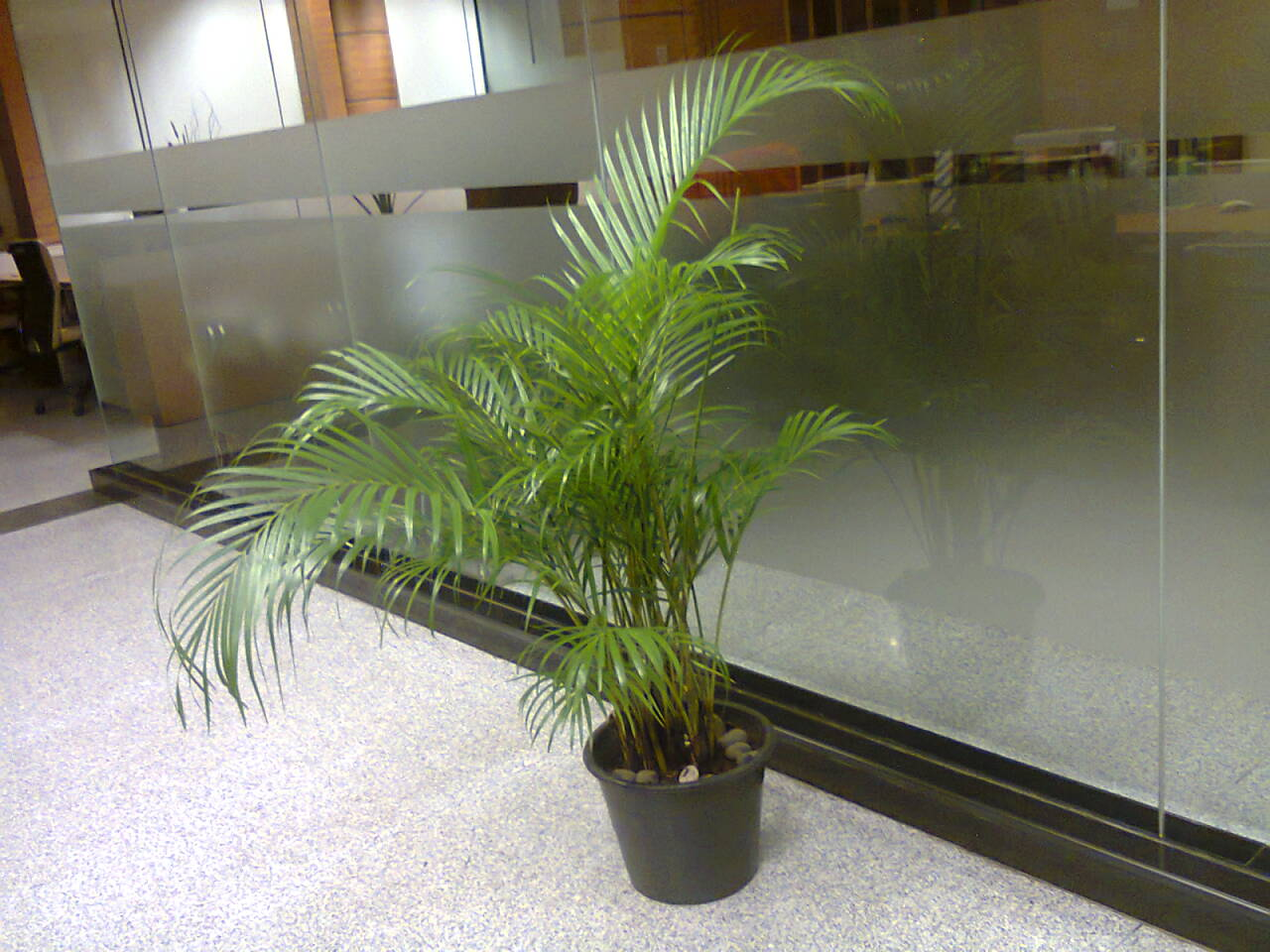 Rental tanaman pot Palem Kuning Telp.021-70057111, Hp. 08561577500