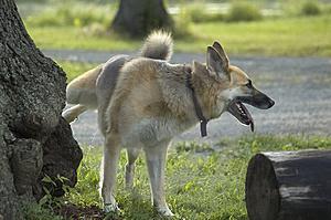 Mengapa Anjing Mengangkat Kakinya Satu Saat Kencing? [ www.BlogApaAja.com ]