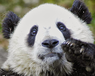 This panda is cutely non-essential.