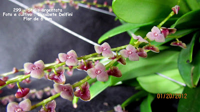 Stelis argentata - variedade 2 do blogdabeteorquideas