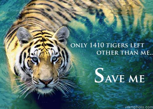 save the tigers The latest tweets from save wild tigers (@save_wildtigers) support survive thrive fewer than 3,000 tigers left in the wild join the fight backthe clock is ticking.