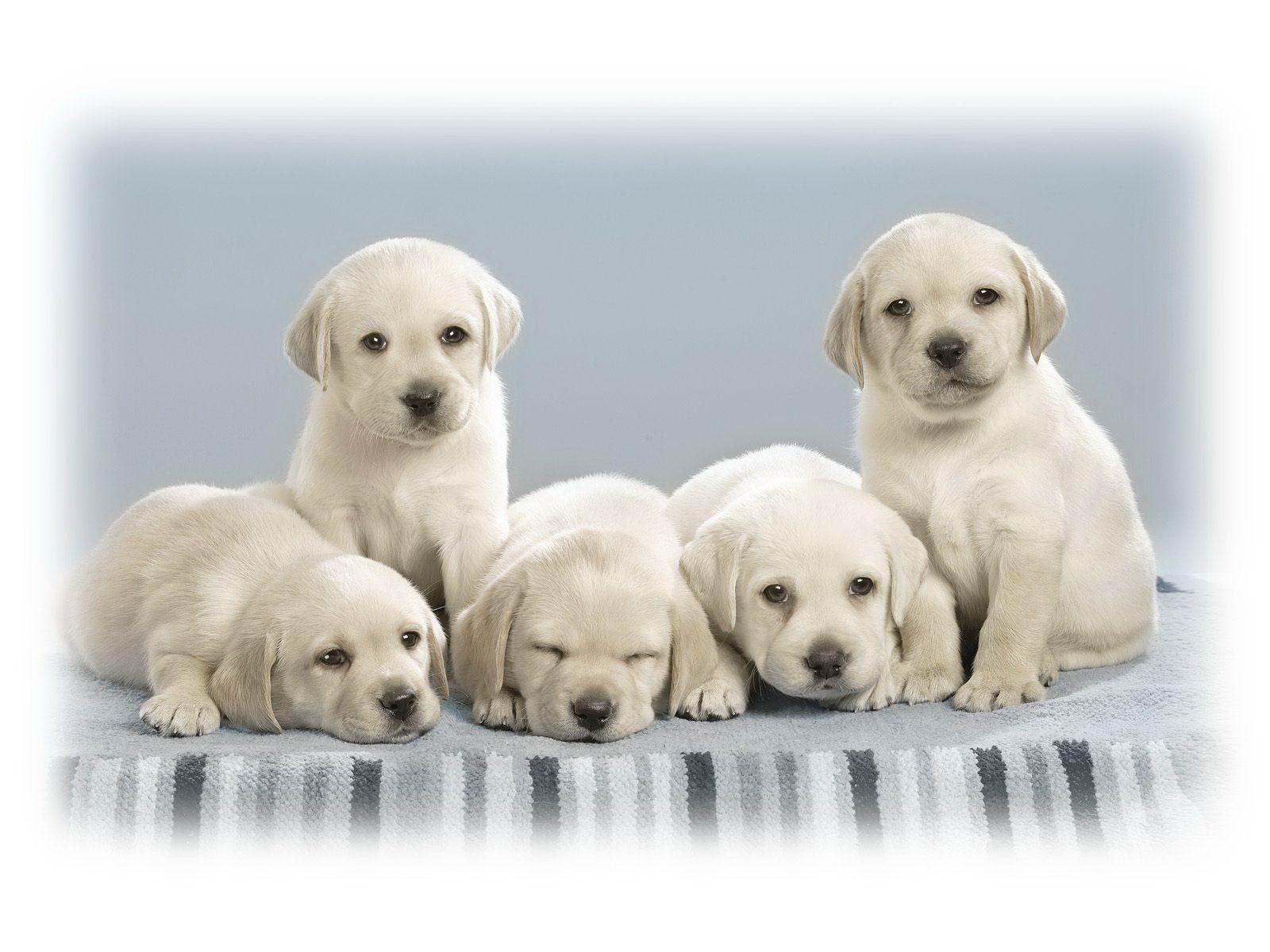 http://4.bp.blogspot.com/-Hh4zc7qJCMc/T925zEjA__I/AAAAAAAAAXs/Xk1kyHM7T9U/s1600/wallpaper+anak+anjing+putih.jpg