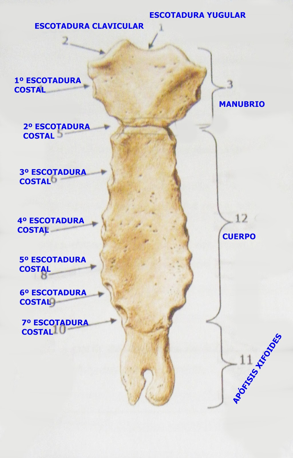 FisioAdicción: Columna dorsal y caja torácica