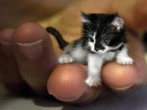 ... diri sebagai kucing terkecil dunia oleh Guiness Wor