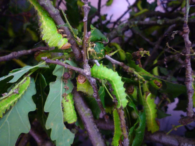 Chinese Oak Silkmoth caterpillars (A. pernyi) via lovebirds vintage