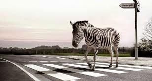 zebra sedang menyeberang jalan