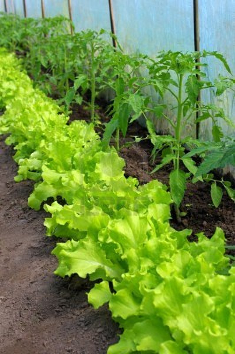 Eat live grow paleo the perfect first vegetable garden - How to store lettuce from garden ...