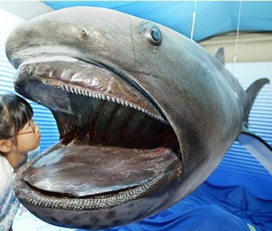 Strangest Marine Sea Creatures Megamouth Shark